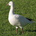 """Note: round head and short bill (with smaller """"grin patch"""" in comparison to Snow Goose)"""