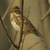 Winter plumage male.