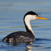 Breeding adult. Note: white above eye, yellow bill and pale flanks.